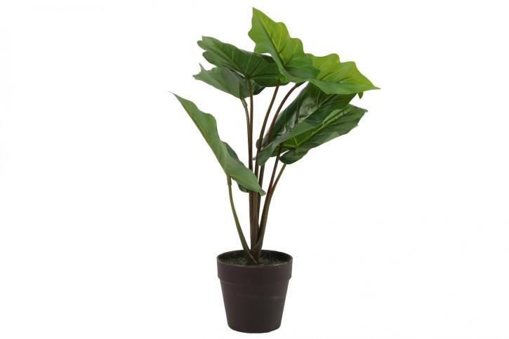 Alocasia Libby grün